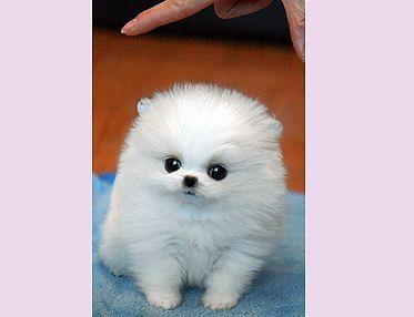 Teacup Pomeranian   Chiot, Chien