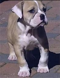 English Bulldog Olde Tyme Bulldog Hybrid I Love Herrrr