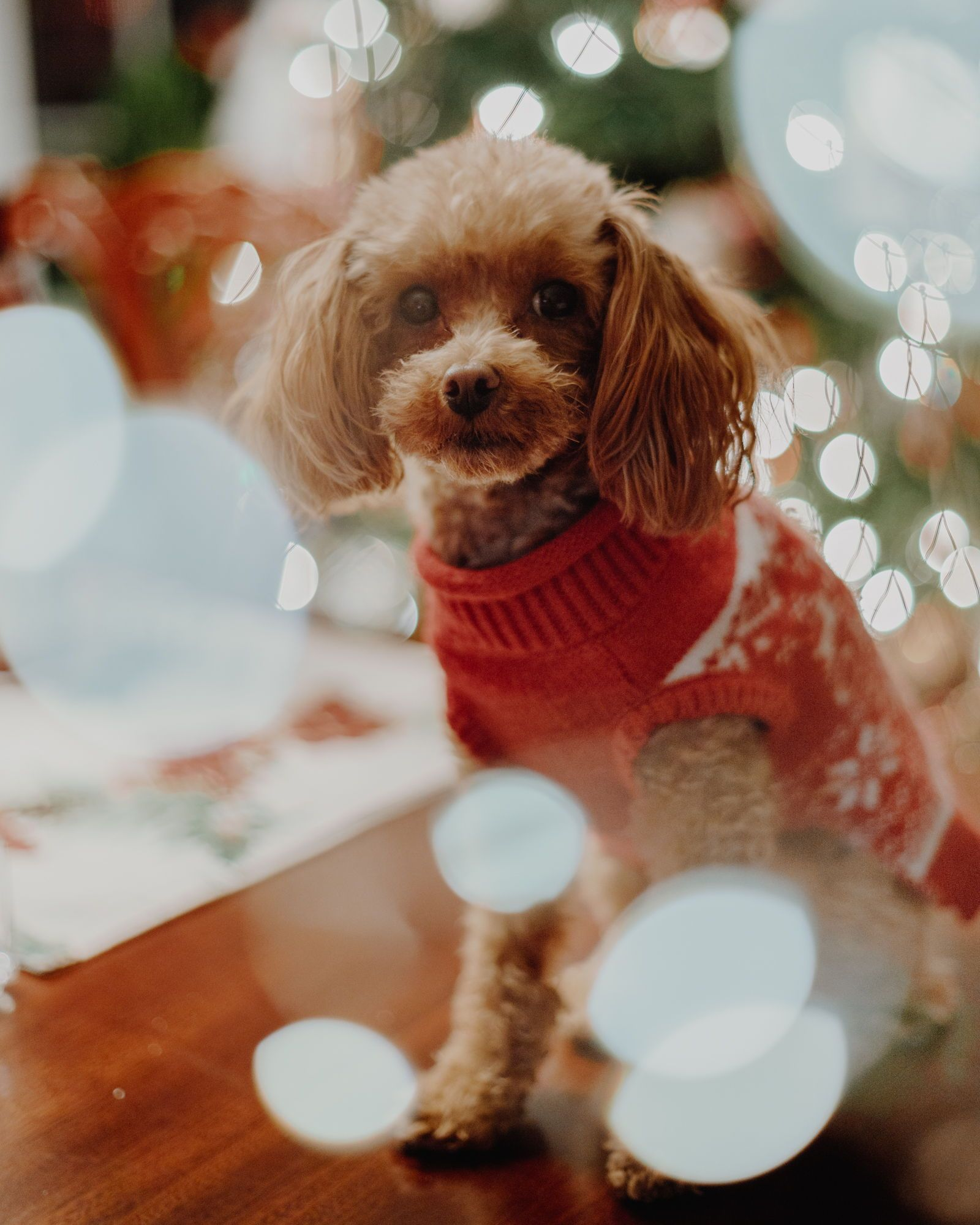 Cute Poodle Toy Poodle Ginger Poodle Apricot Poodle Red Poodle