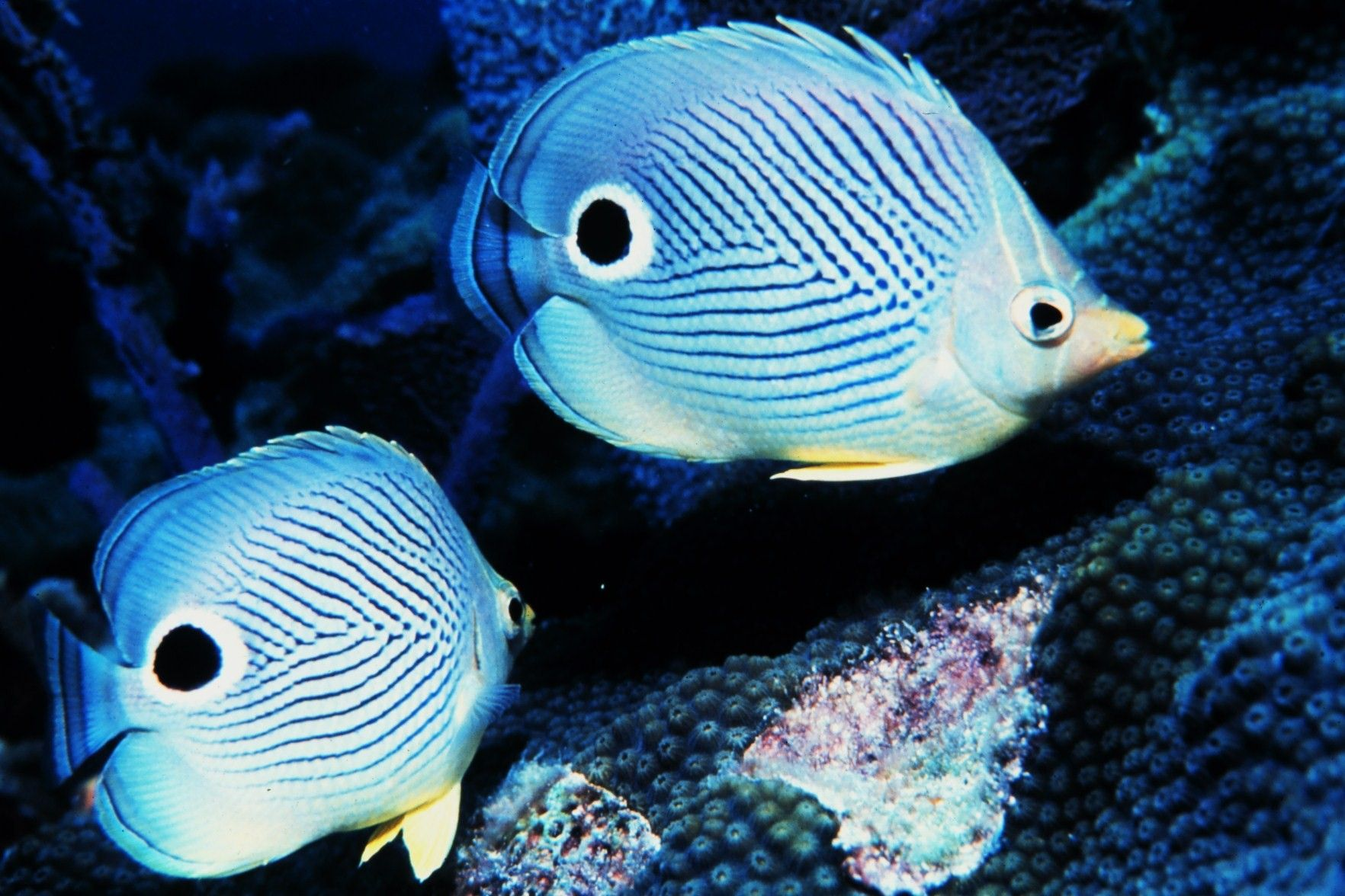 Two four-eyed Butterfly Rreef-fish | Marine-Life | Sea, Sea