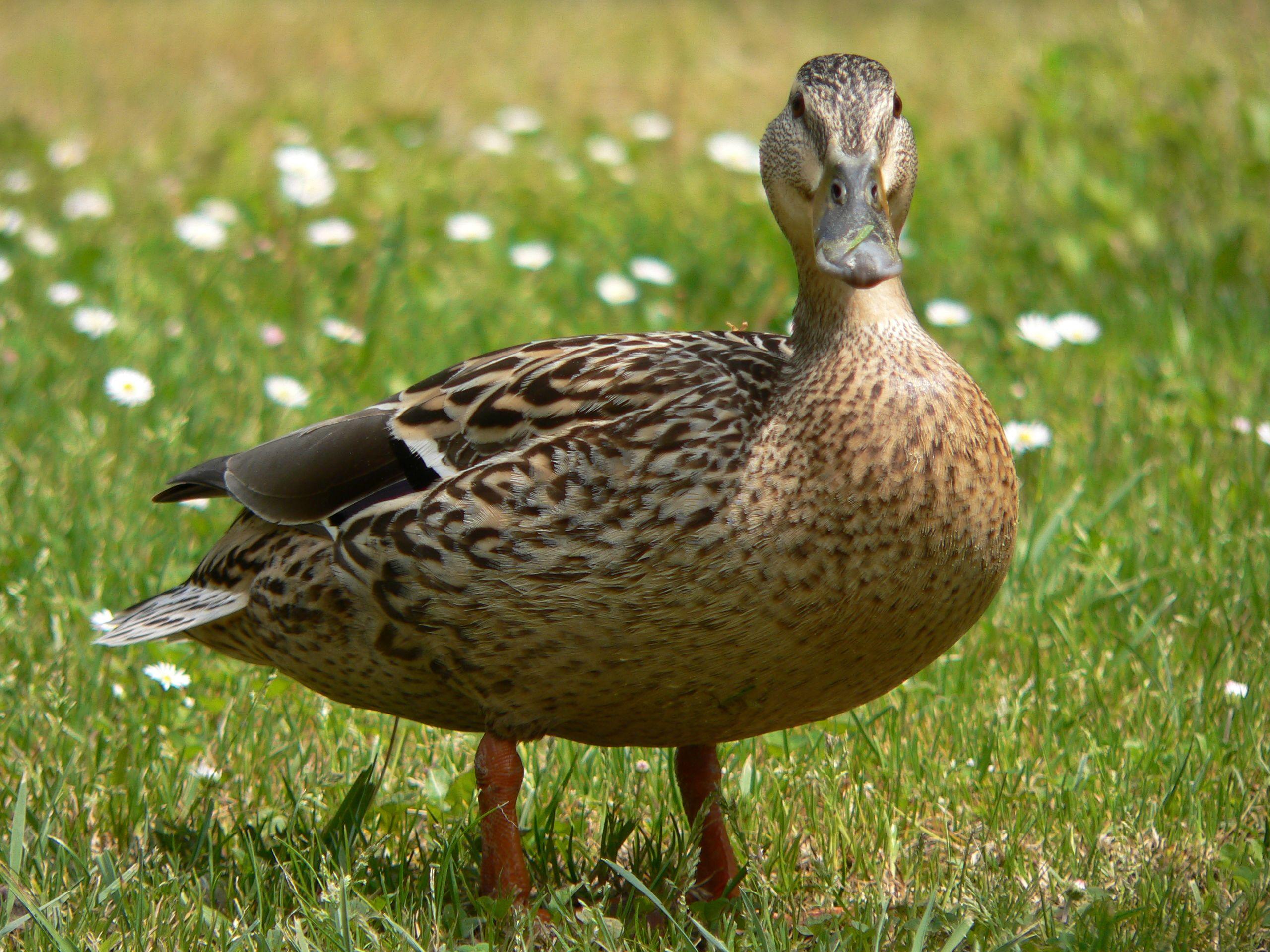duck google search luv ducks pinterest bird birdwatching
