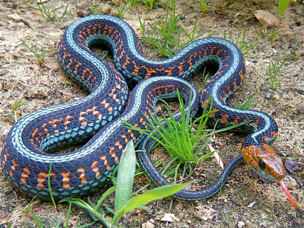 California Red Side Garter Snake Snake Animal Conservation