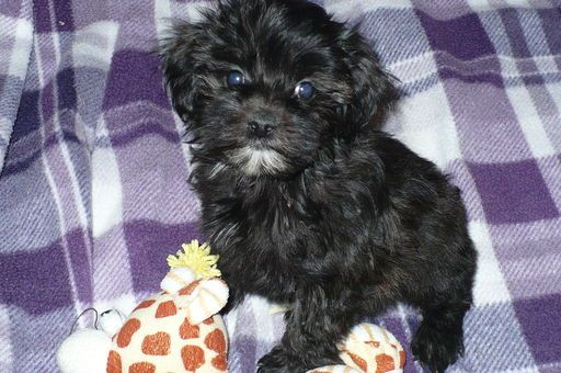 Maltese Poodle Toy Mix Puppy For Sale In Tucson Az Adn 29422