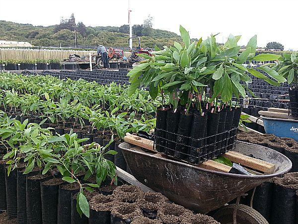 Brokaw Avocado Nursery Tour Ventura California