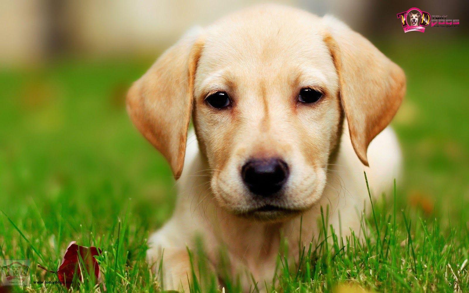 75 Labrador Retriever HD Wallpapers | Backgrounds - Wallpaper ... for Cute Lab Dog Puppy  155fiz