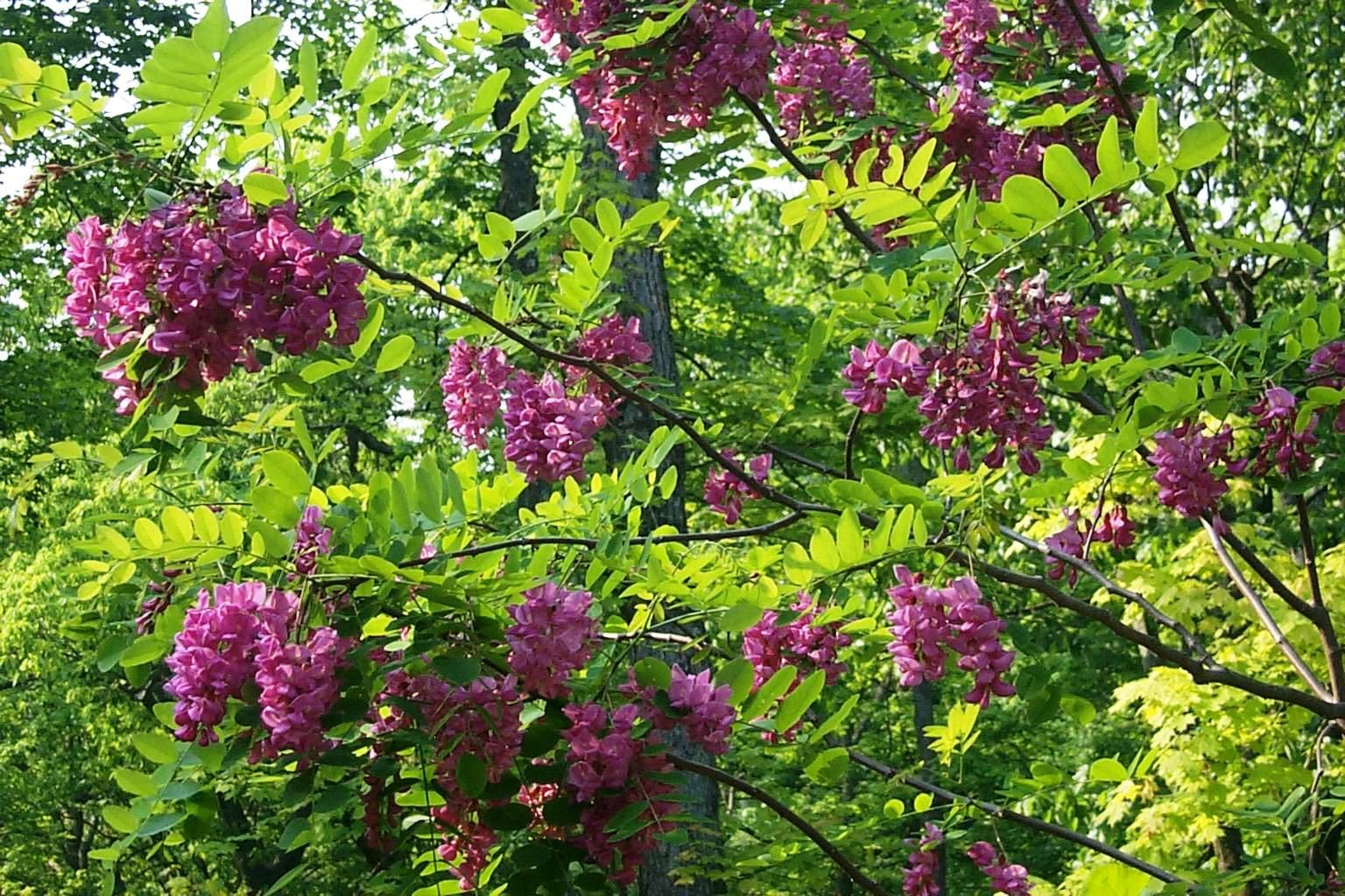 Purple robe locust tree | Plants and landscapes | Pinterest | Robe ...