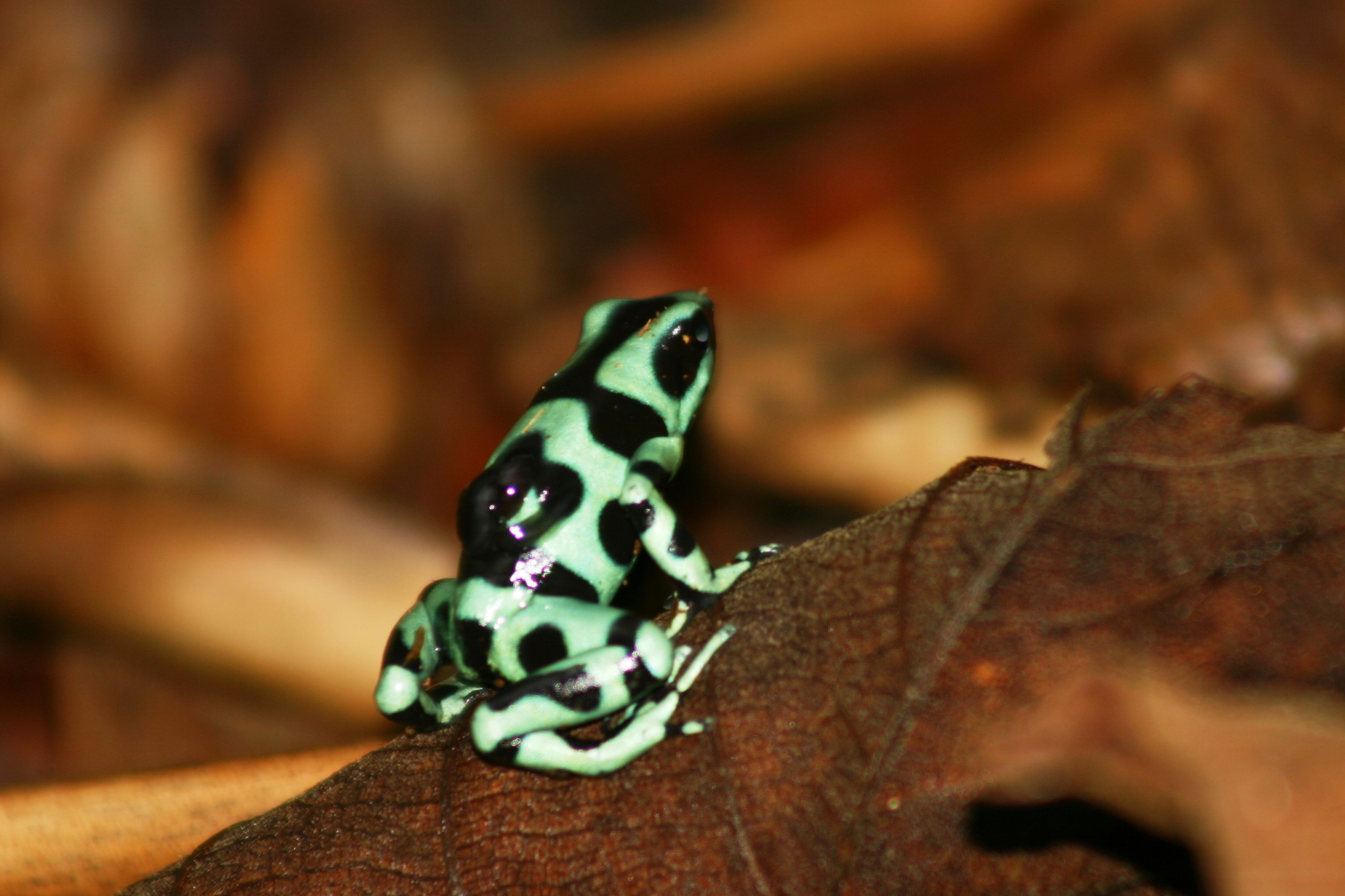 Poison Dart Frog #Frogs
