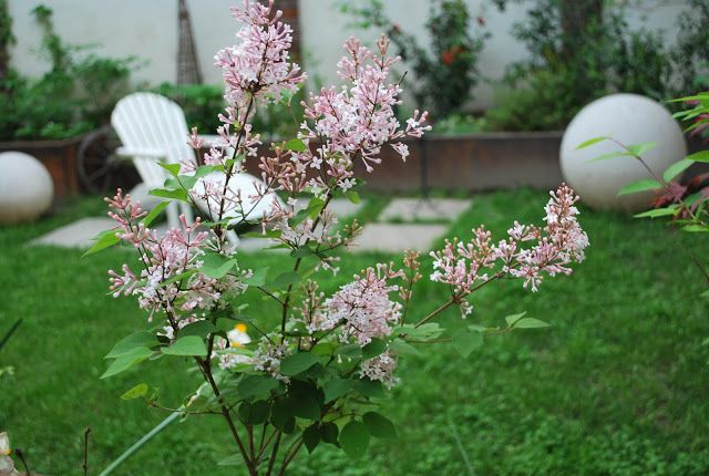 Giardino Metropolitano: piante da sole. Syringa Microphylla, un lillà adatto agli spazi piccoli!