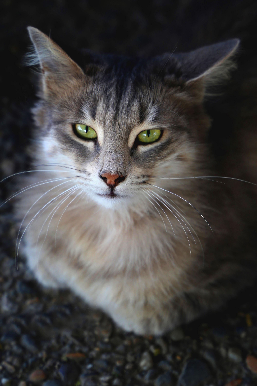 Cat Breeds   List Of Most Popular Cat Breeds 2018—2019 #catbreeds