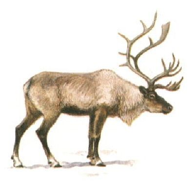 картинки северный олень для детей онлайн | Животные, Олень ...
