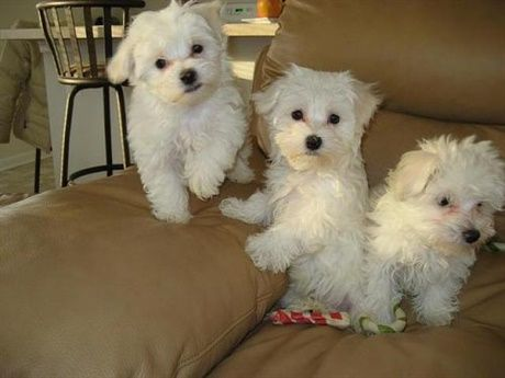 Sweet Maltese Puppies Available For Pet Lovers We Have One Male
