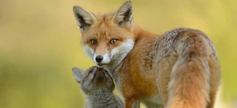 Maroni apre alla mattanza delle volpi, cuccioli compresi. Lombardia, Liguria, Veneto e Toscana stanno demolendo la legge sulla caccia. Il Governo tace.