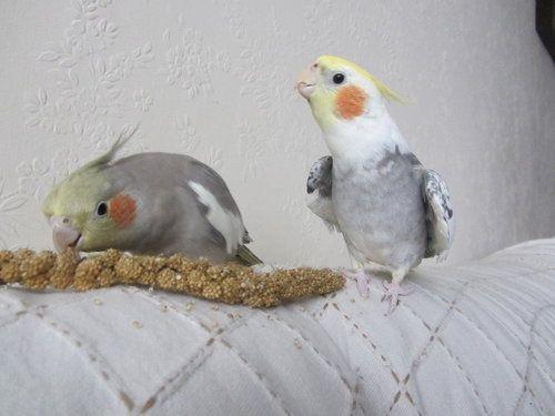 honpun:  Their names are Ghost (singing) and Caspian. So cute! http://charliex8.deviantart.com/art/Contest-Thanksgiving-Tiels-339846161