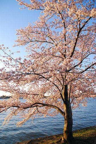 The Cherry Blossom Tree Cherry Blossom Tree Beautiful Tree Blossom Trees
