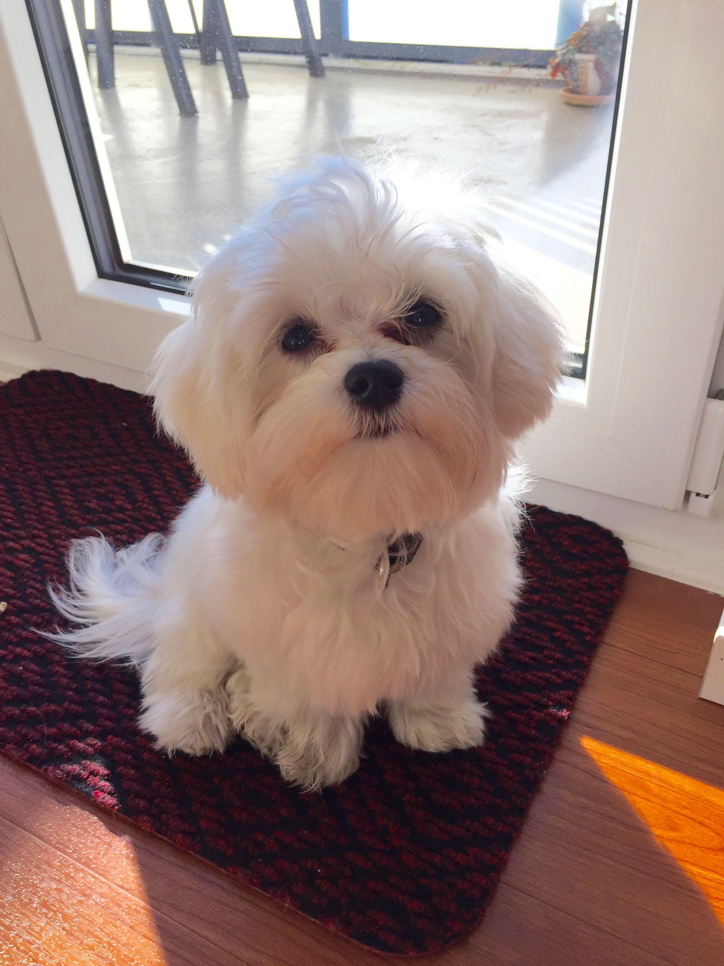 Maddy Maddison Malteser Pawshake Mehr Malteser Hund