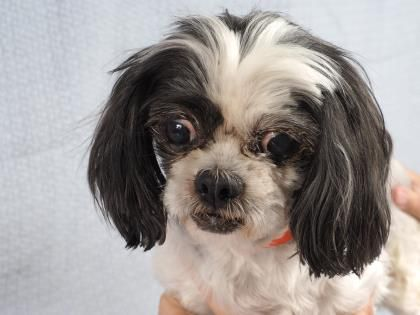 Adopt Gracie A Lovely 12 Years 1 Month Dog Available For Adoption At Petango Com Gracie Is A Shih Tzu And Is Available A Shih Tzu Puppy Adoption Dog Adoption