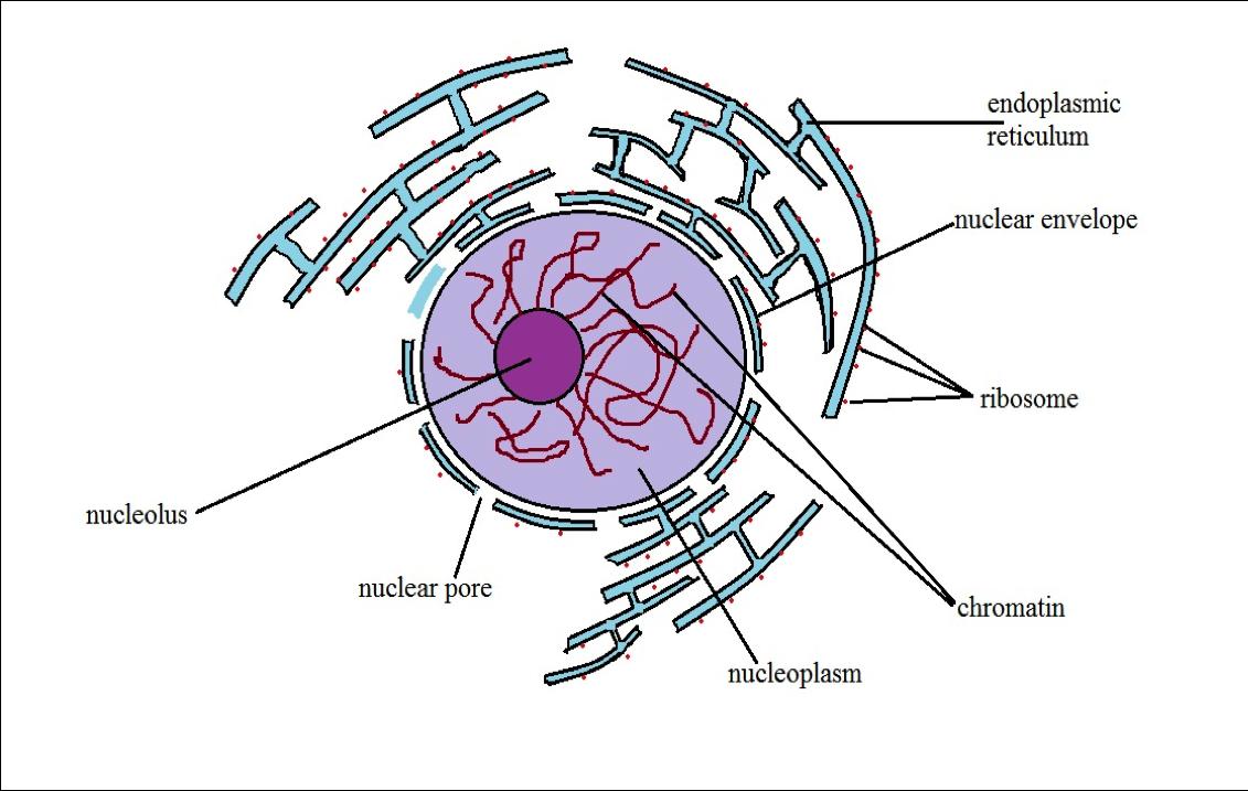 Nucleus Definition, Structure & Function, Cellular vs