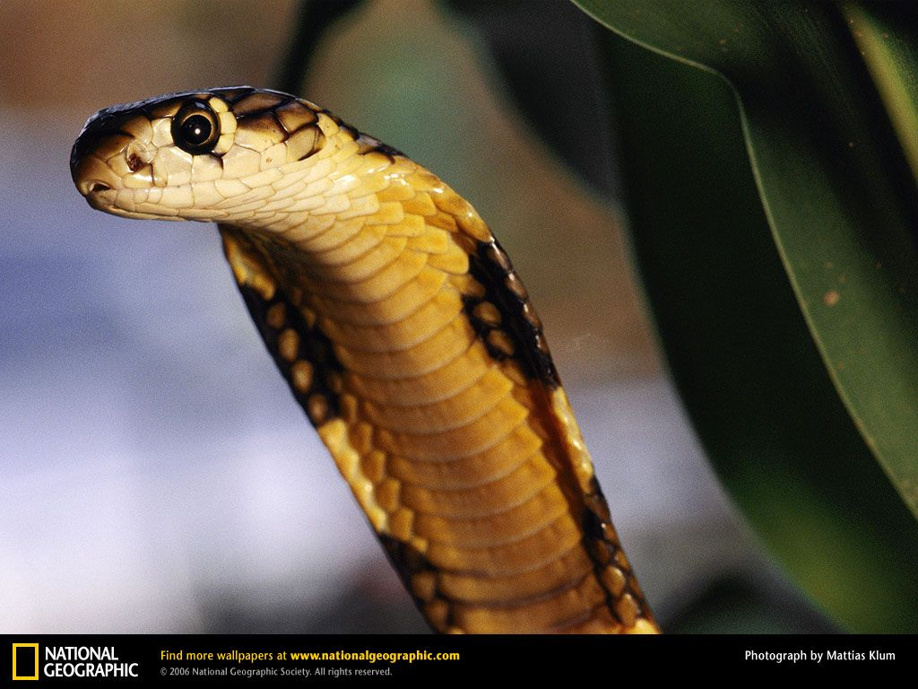Cobra Snake Wallpaper Hd Background « HD Wallpapers
