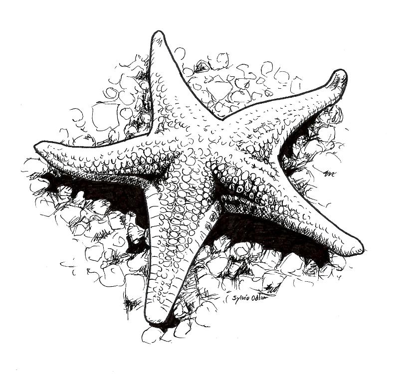 Starfish Art Drawing Pen Ink Black White Ink Pen Drawings Sea Drawing Stippling Art