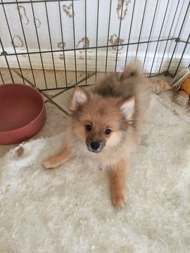 Litter Of 4 Pomeranian Puppies For Sale In Punta Gorda Fl Adn