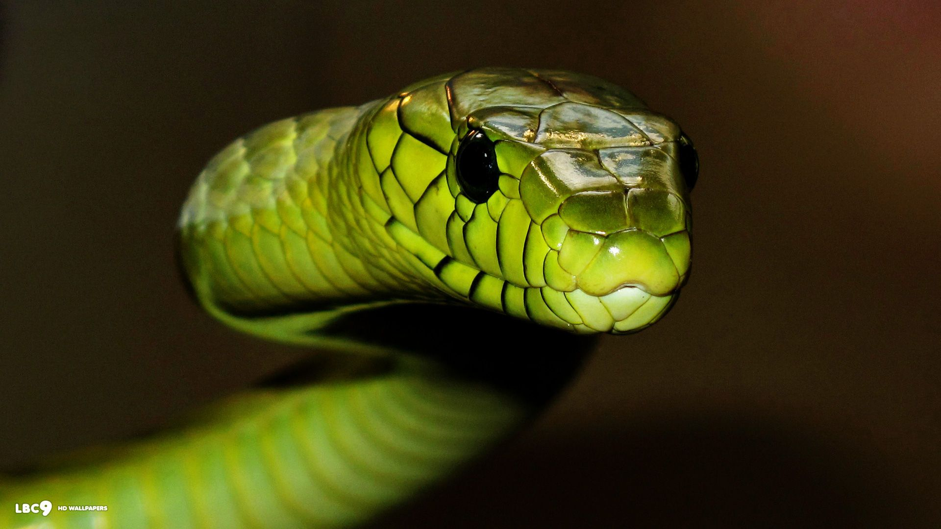 Free Black Mamba Snake Wallpaper APK Download For Android GetJar 1024x658 Wallpapers 39