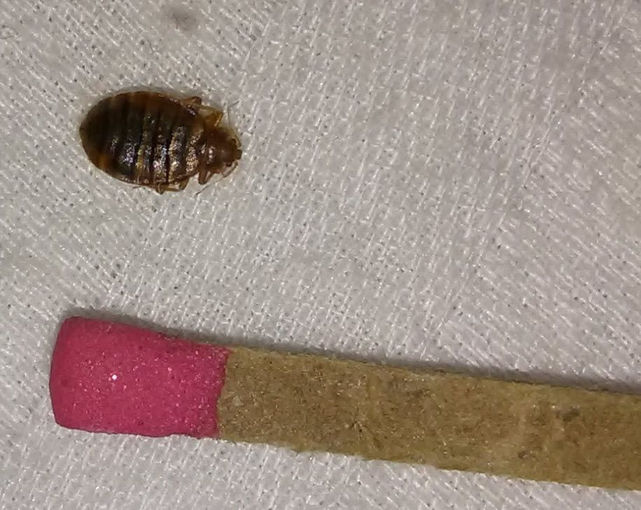 bed bug near a match. Bed bugs, Bugs, Clip art
