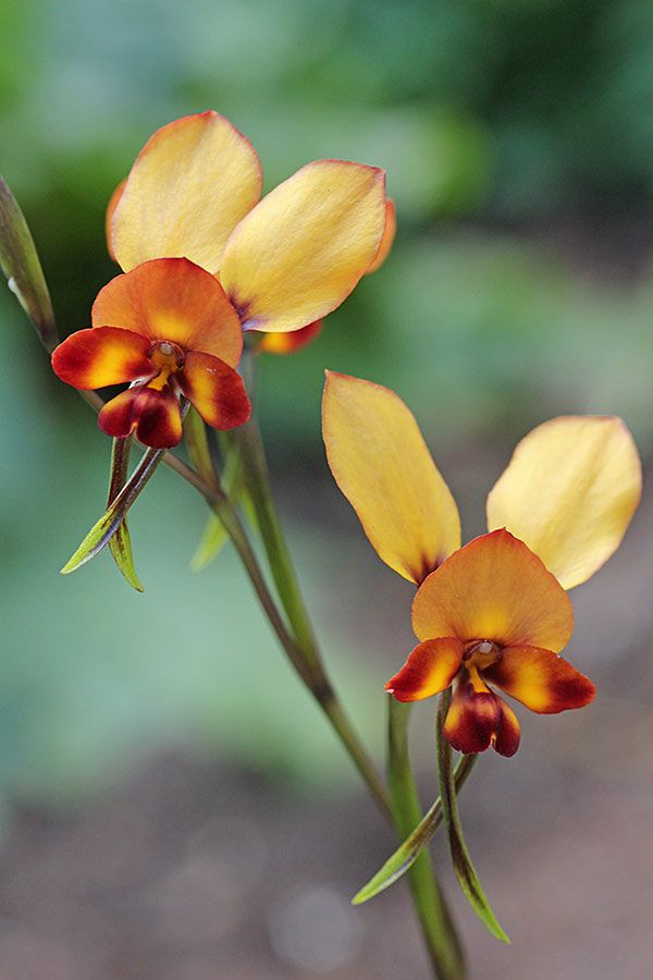 Donkey Orchid Diuris Brumalis The Orchids Of Western Australia Australian Wildflowers Australian Native Flowers Orchids