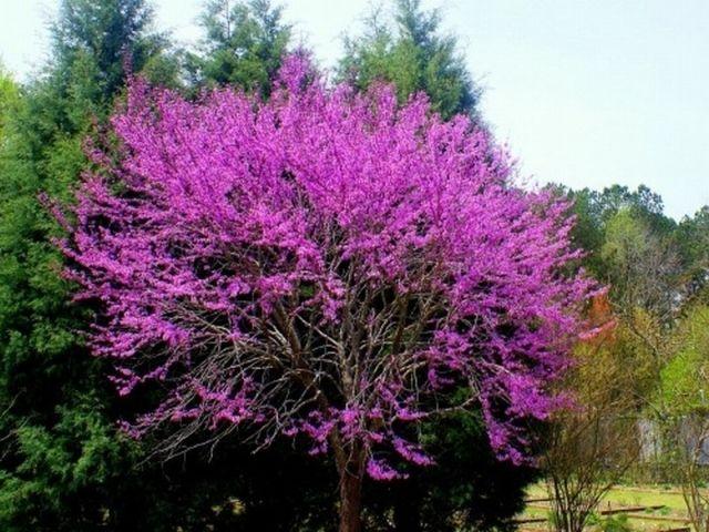 Przepiekny Judaszowiec Kwiaty Na Pniu Promocja 5173765927 Oficjalne Archiwum Allegro Plants Garden