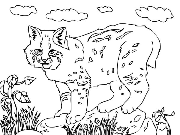 How To Draw Bobcat Coloring Pages Best Place To Color Coloring Pages Drawings Coloring Pictures