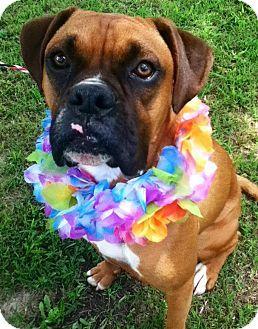 Halmilton, NJ Boxer. Meet RAZ *URGENT* a Dog for