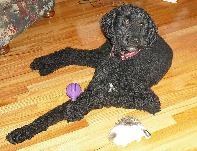 Great Dane And Standard Poodle Mix