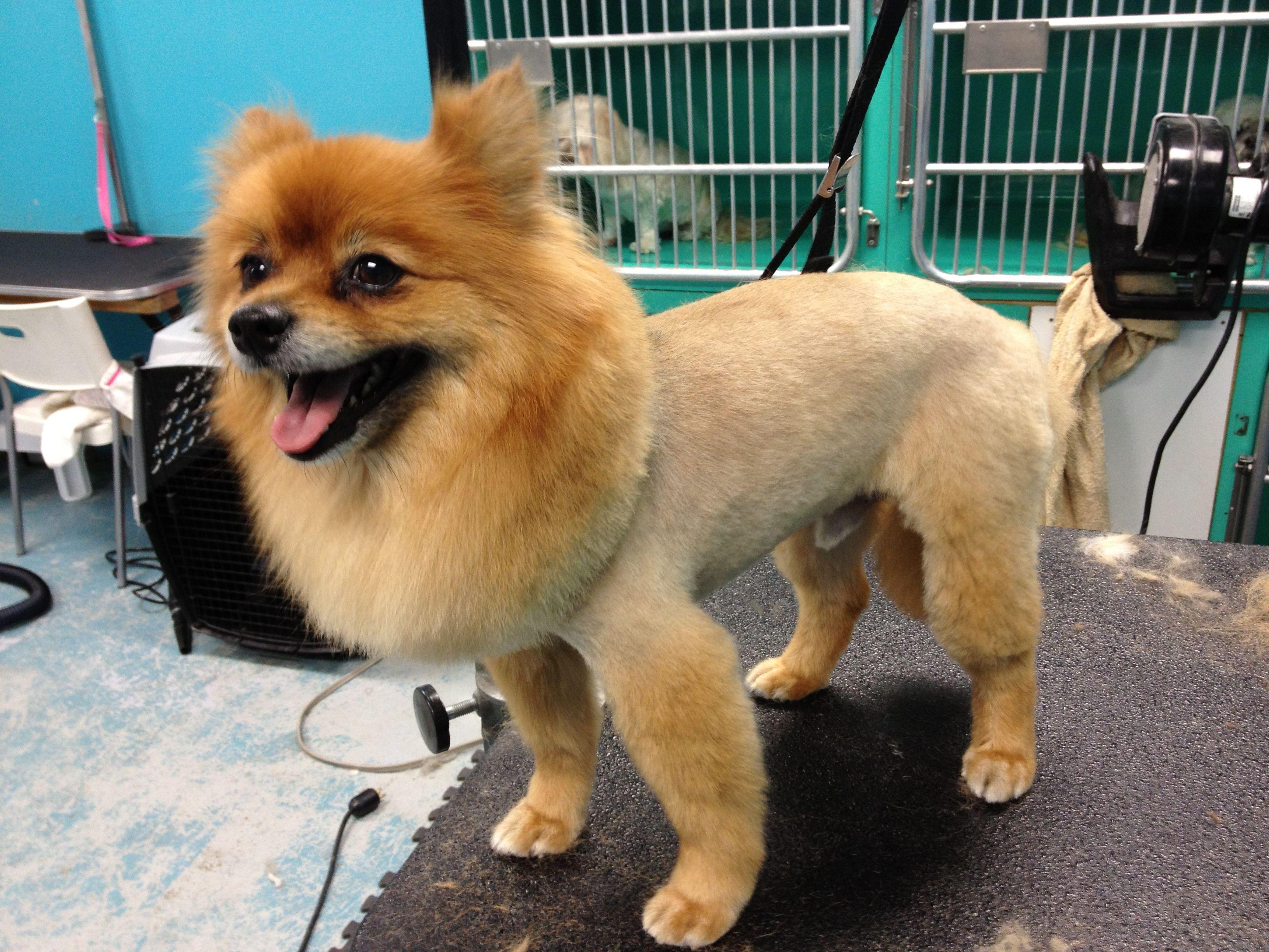 Pin on livinginlofi / puppies! yay!White Pomeranian Lion Cut