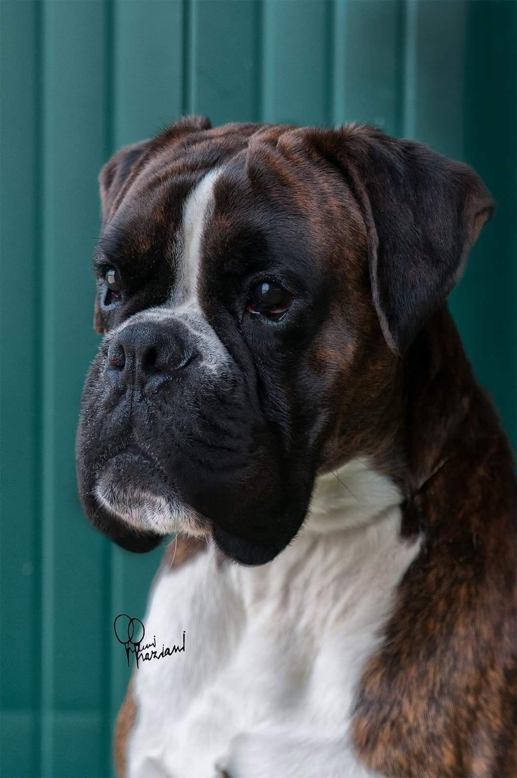 Pin by Dave Hunt on Boxers Boxer dogs funny, Boxer