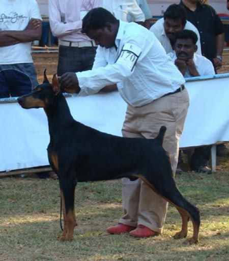 This Majestic Doberman Pinscher Saved His Owners Life