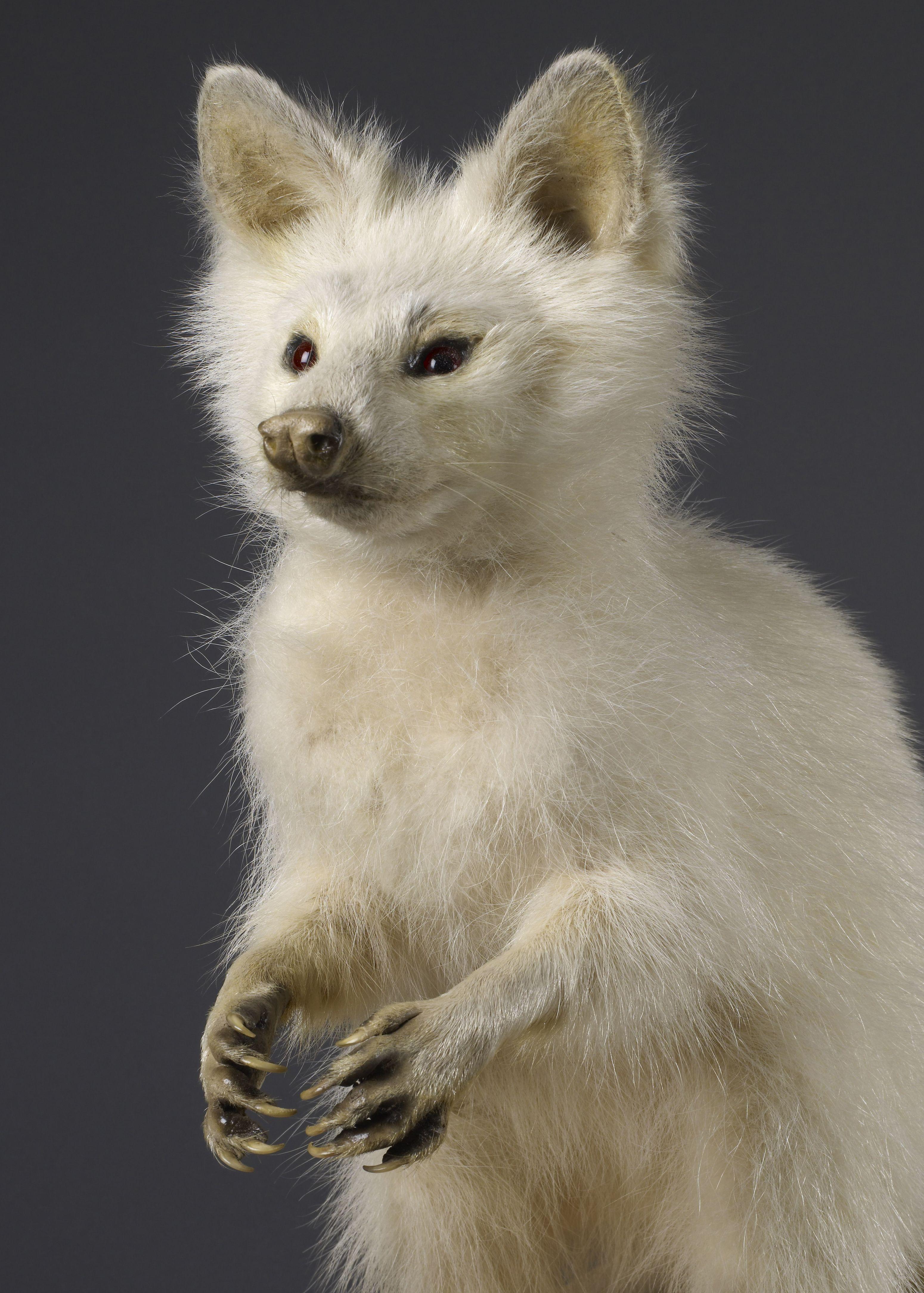animal kingdom in rare form albino raccoon adone