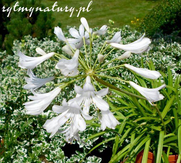 Ten Dumny Kwiat Na Balkon Niejedno Juz Skradl Serce Plants