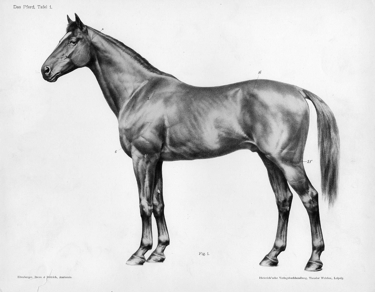 Das Pferd, Tafel 1 Other Title: The horse Dittrich, Herman This is a ...