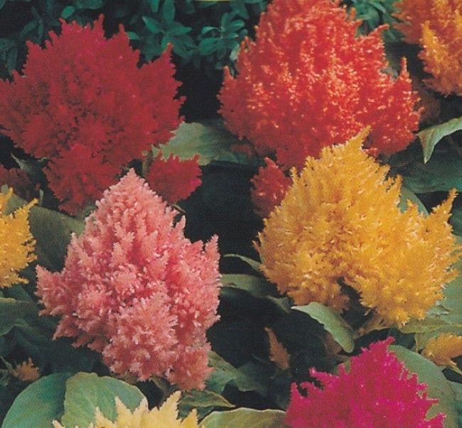 Celosia Argentea Var Plumosa Dwarf Mixture Plumed Cockscomb Plant Sale Plants Ornamental Plants
