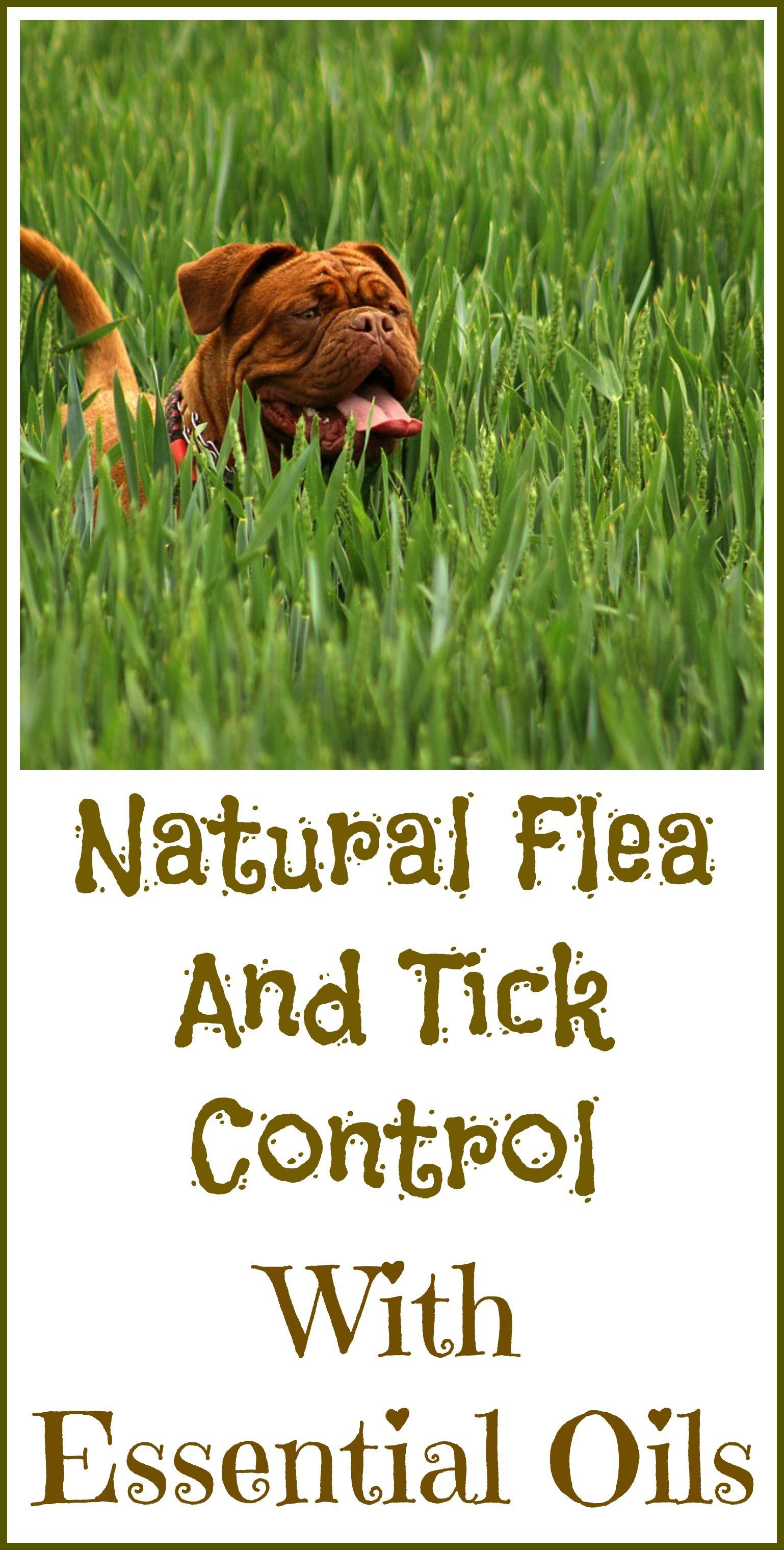 essential oils to kill fleas