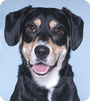 Chicago Il Greater Swiss Mountain Dog Beagle Mix Meet Bandit