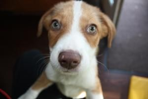 Adopt Fauna On With Images Border Collie Dog Fauna Green Eyes