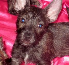 Cairn Terrier Puppies Is An Adoptable Cairn Terrier Dog In Warsaw