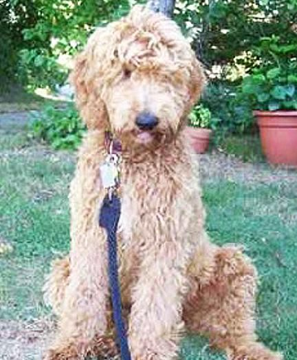 Adopt Nc Memphis Adopted On Pet Search Adoption Goldendoodle
