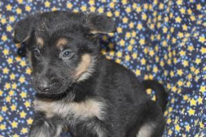 German Shepherd Puppies For Sale In Ronks Pennsylvania Www Network34 Com Dogsbreed German Shepherd Puppies For With Images German Shepherd Puppies Puppies For Sale Puppies