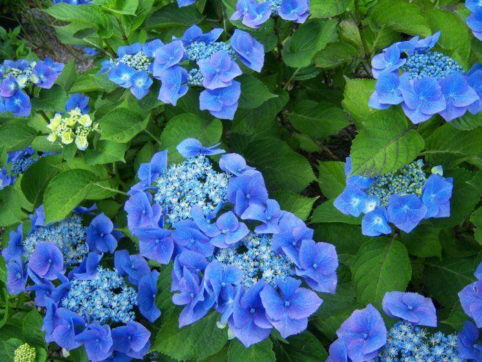 blaue hortensie hortensien pflanzen hortensien pflege Garten
