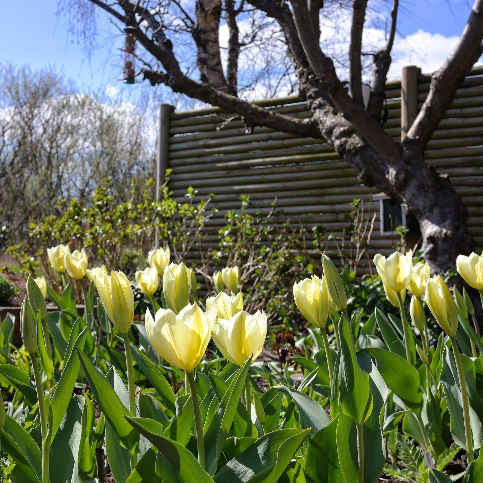 HAVEHJERNEN: Så er tulipanerne på vej