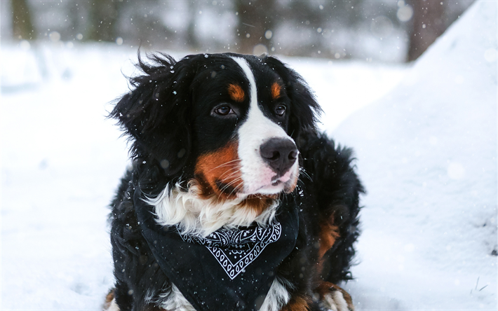Download Wallpapers Bernese Mountain Dog 4k Pets Winter Cute Animals Dogs Berner Sennenhund Besthqwallpapers Com Hunderassen Susse Hunderassen Niedliche Hunde