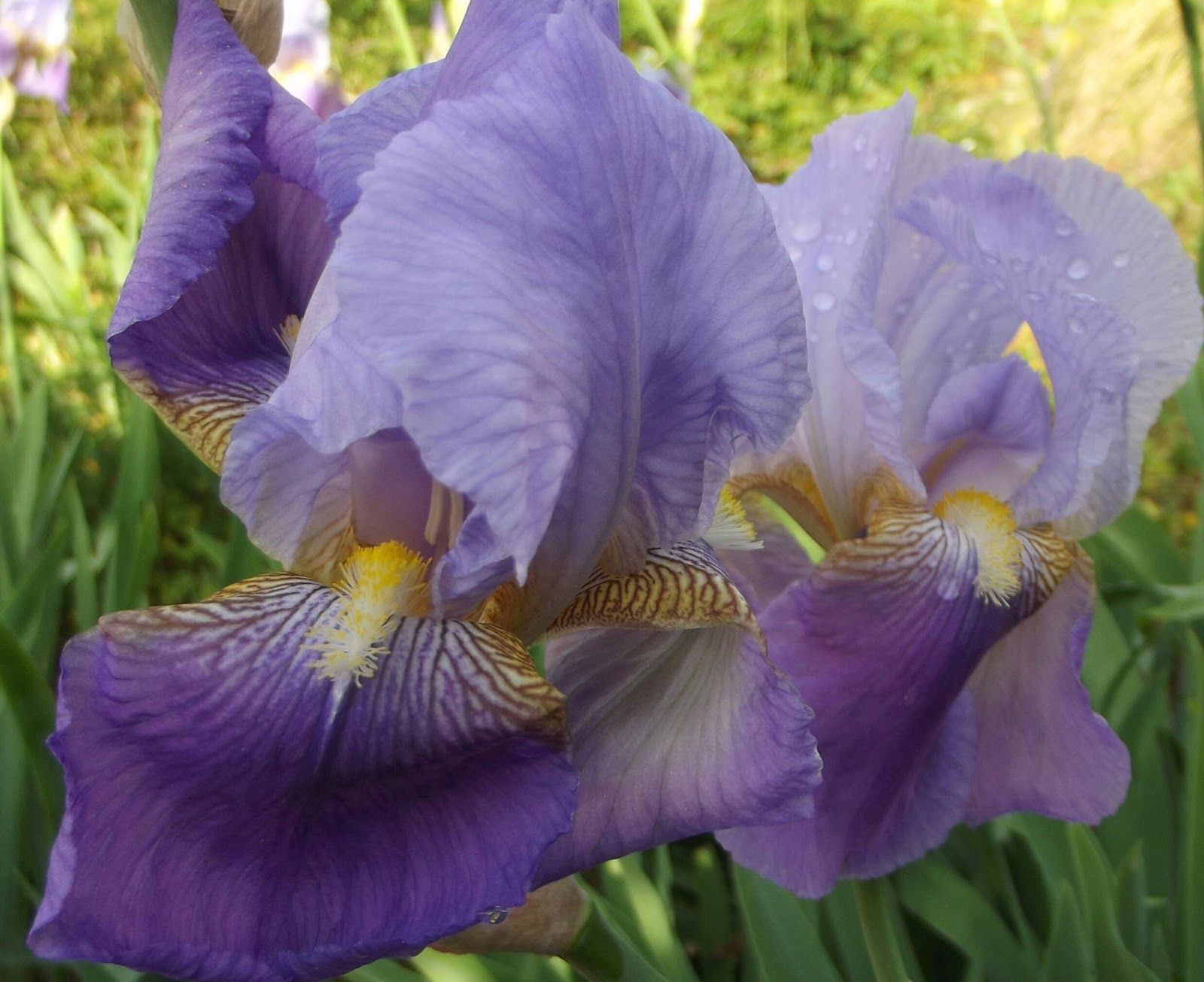 Cette Nuit La Pluie Est Tombée Sur Un Iris Violet the Most