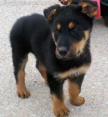 our new baby Archie. German Shephard and Airedale mix. 8 weeks young