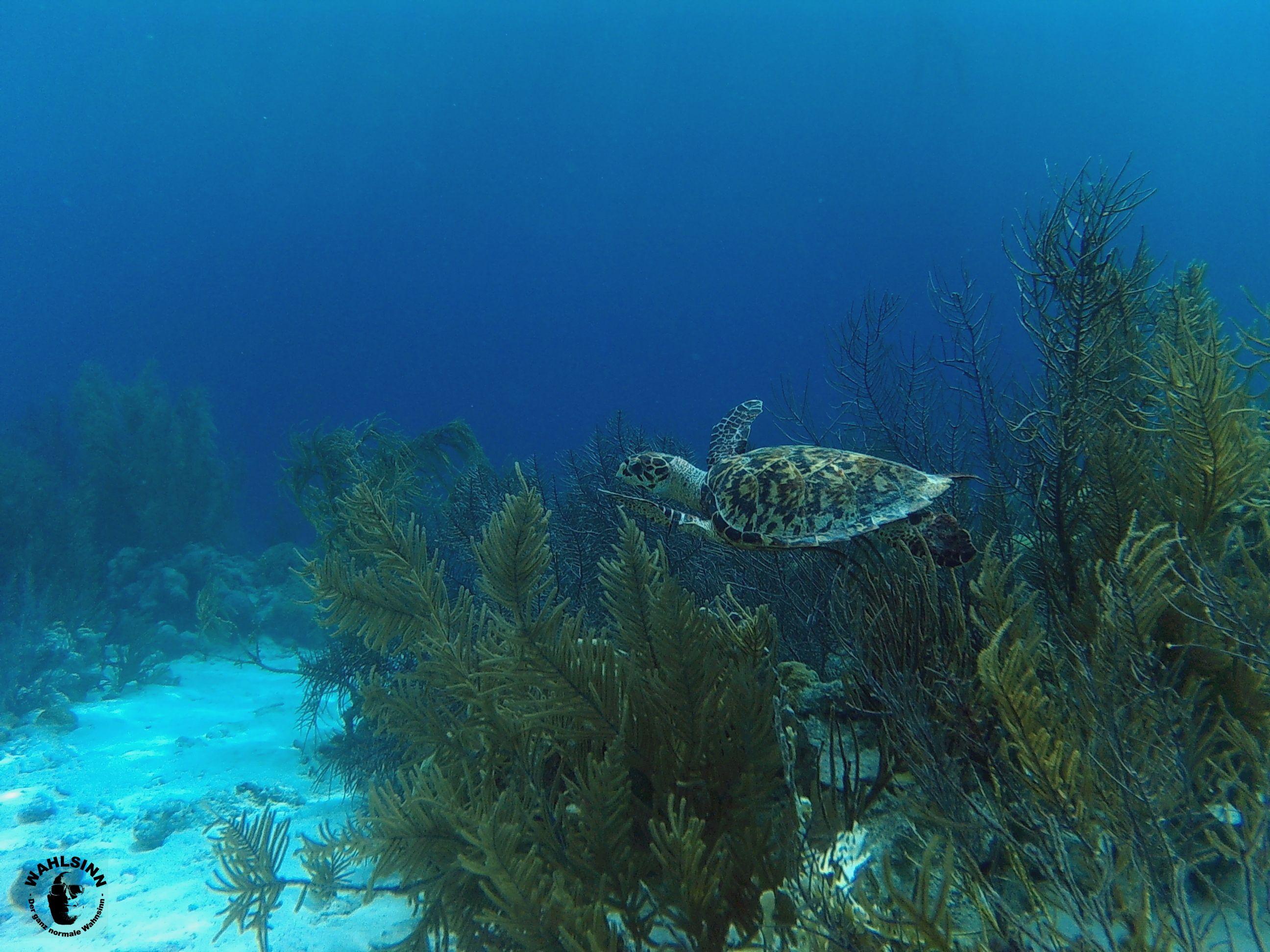 Bonaire - Schildkröten sind hier in der Unterwasserwelt keine Seltenheit
